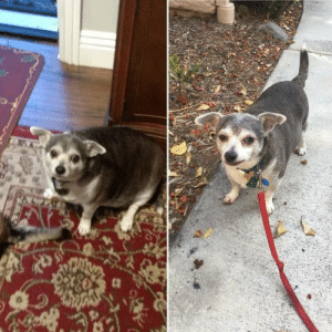 """""""My 90yo neighbor hasn't walked her dog in years so I volunteered to do it for her. So proud of Buddy's weight loss!!!""""(Source): """"My 90yo neighbor hasn't walked her dog in years so I volunteered to do it for her. So proud of Buddy's weight loss!!!""""(Source)"""