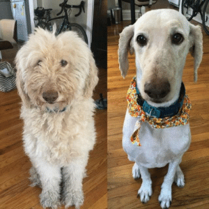 """Our 9 year old goldendoodle got her first grooming since quarantine. Our other dog barked at her when she came home"" (via): ""Our 9 year old goldendoodle got her first grooming since quarantine. Our other dog barked at her when she came home"" (via)"