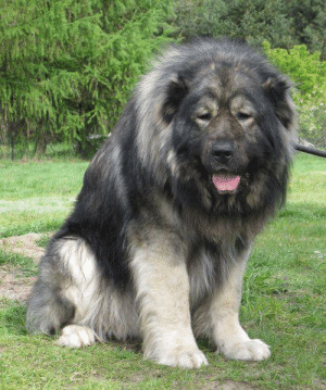 """This is a Russian bear hunting dog, despite the name that would give this big floof a bad reputation they are one of the gentlest dogs out there and we're made to protec humans from wolves. These good boys need more recognition"" (Source): ""This is a Russian bear hunting dog, despite the name that would give this big floof a bad reputation they are one of the gentlest dogs out there and we're made to protec humans from wolves. These good boys need more recognition"" (Source)"