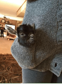 """Memes, Goat, and Baby: """"Tiny baby goat in a pocket"""""""