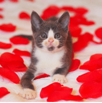 Cats, Friends, and Love: . ╰☆╮🌹WINNER 🌹╰☆╮ . ♥️💫 CONGRATULATIONS 💫♥️ . @kitty_fostering_oz . You're one of the winners of our Valentine Contest ⇨ meow_myvalentine hosted by . ♡ @meow_beauties ♡ @cat_features ♡ @meowsandwoofs ♡ @balous_friends ♡ @kittylookbook ♡ @elegant_cats . Each entry was filled with so much love and it was incredibly difficult for us to choose only 3 winners. We absolutely could not decide between 5 pictures so we have 5 amazing winners 💞 . ♥️ Thanks to all who participated ♥️