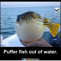 Memes, 🤖, and Puffer Fish: ー.55  Puffer fish out of water.  f ⓦDCDLifeFactsInc  O