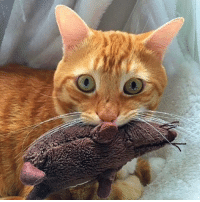 Animals, Cats, and Cute: 入 It's my toy... 😼 cat cats cute catlover catstagram catoftheday catoftheday catsofinstagram family sweet animal love lovecats pet like4like kitty kedi likeforlike instagram instagood instacat friends ginger mouse goodnight happy handsome tagsforlikes picoftheday photo