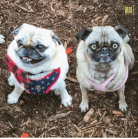 "Memes, 🤖, and Ozzy: 券  踟  A ""Finley also came for a visit. He is always very dapper. 🎩 "" -Ozzy w/@pugridesshotgun http://ift.tt/2kCLm4l"