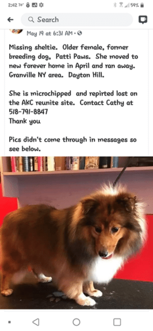 """Memes, Lost, and Thank You: 客冥.wil 59% 습  2:42 70"""" 8  *  Search  ←  May 19 at 6:31 AM.  Missing sheltie. Older female, former  breeding dog, Patti Paws. She moved to  new forever home in April and ran away  Granville NY area. Dayton Hill  She is microchipped and repirted lost on  the AkC reunite site. Contact Cathy at  518-791-8847  Thank you  Pics didn't come through in messages so  see below.  0 Lost Dog Granville....Dayton Hill  Please spread the word.  518 791 8847"""