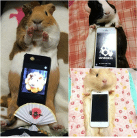 Did you know when you put your phone on a guineapig, it will becomes a phone stand? Follow @9gag @9gagmobile 9gag (credit: TW - morpheus_a): 带  毌℃ Did you know when you put your phone on a guineapig, it will becomes a phone stand? Follow @9gag @9gagmobile 9gag (credit: TW - morpheus_a)