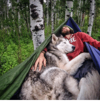 Dogs, Funny, and Goals: 忐  n  ts,X-i Loki the Wolf Dog! Awesome Instagram for all those who want to see more like this:) loki_the_wolfdog