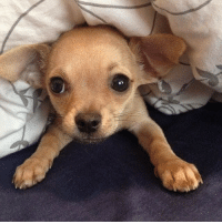 """Come on Mommy, let's go to bed!"" Goodnight from FamousChihuahua.com #chihuahua #goodnight #socute #sharethelove #famouschihuahua: 當 ""Come on Mommy, let's go to bed!"" Goodnight from FamousChihuahua.com #chihuahua #goodnight #socute #sharethelove #famouschihuahua"