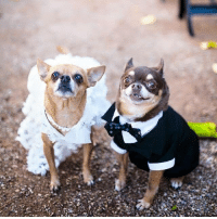 Chihuahua Bridal Fashions! Dog Wedding Dress and Boy Tuxedo! Check it out at http://store.famouschihuahua.com/__productype.asp?PT_ID=29&strProductID=Dog_Formal_Wear #chihuahua #dogwedding #dogclothes #weddingdog #chihuahualove #famouschihuahua #: 痿 Chihuahua Bridal Fashions! Dog Wedding Dress and Boy Tuxedo! Check it out at http://store.famouschihuahua.com/__productype.asp?PT_ID=29&strProductID=Dog_Formal_Wear #chihuahua #dogwedding #dogclothes #weddingdog #chihuahualove #famouschihuahua #