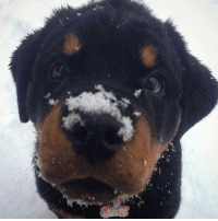 Want to build a snowman with me? via pit bulls and Rottweilers: 꽃 Want to build a snowman with me? via pit bulls and Rottweilers
