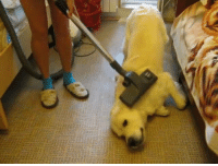 If only our dogs loved the vacuum this much!: 소 If only our dogs loved the vacuum this much!