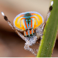 You like groovin' to get in the mood? So does the peacock spider! These male jumping spiders in the Maratus genus really like to put on a show for their possible mate, lifting their brightly colored tail flaps into the air and kicking their legs up like a Rockette during the holiday season. They also use their legs to drum up a sick beat, thumping on the ground (and even their conquest's head) in order to get the point across. Also, if the female is dissatisfied with the male's dancing, she'll sometimes straight up eat him, which is a practice that we believe should be instated in every nightclub in the world. Also, you can't tell from this photo, but peacock spiders are teeny tiny, with the biggest getting to be about ¾ of a centimeter (⅓ of an inch). They're also incredibly venomous, but the peacock spider has such a small jaw that it couldn't possibly pierce its fangs into a chunk of human.: 욹 You like groovin' to get in the mood? So does the peacock spider! These male jumping spiders in the Maratus genus really like to put on a show for their possible mate, lifting their brightly colored tail flaps into the air and kicking their legs up like a Rockette during the holiday season. They also use their legs to drum up a sick beat, thumping on the ground (and even their conquest's head) in order to get the point across. Also, if the female is dissatisfied with the male's dancing, she'll sometimes straight up eat him, which is a practice that we believe should be instated in every nightclub in the world. Also, you can't tell from this photo, but peacock spiders are teeny tiny, with the biggest getting to be about ¾ of a centimeter (⅓ of an inch). They're also incredibly venomous, but the peacock spider has such a small jaw that it couldn't possibly pierce its fangs into a chunk of human.