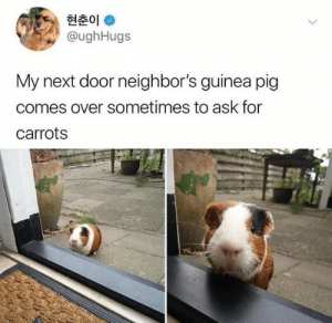 guinea: 현춘01 *  @ughHugs  My next door neighbor's guinea pig  comes over sometimes to ask for  carrots