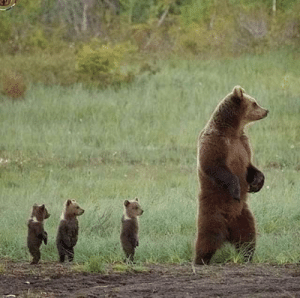 🔥 Mama bear and her cubs out and about 🔥: 🔥 Mama bear and her cubs out and about 🔥