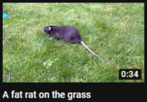 Fat, Rat, and Grass: 0:34  A fat rat on the grass