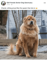 Friends, Queen, and Chanel: 0  Old Friends Senior Dog Sanctuary  3hrs  Chanel, sitting proud like the queen that she is Yas kween 😩😩💙