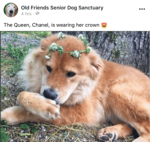 Friends, Target, and Tumblr: 0  Old Friends Senior Dog Sanctuary  4 hrs  The Queen, Chanel, is wearing her crown old-friends-fan-page: