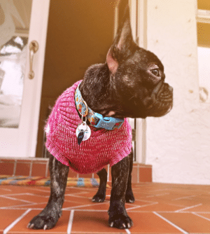 Florida, Weather, and Her: 012-94  AKOU  TE ID  TRO30-57  RARARA My Frenchie rocking her new sweater for the low south Florida 60 degree weather