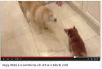 028 038  Angry Shiba Inu transforms into drill and kills its child