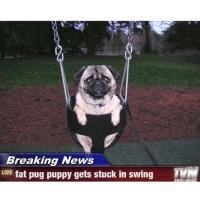 funny pug: Breaking News  LIVE  fat pug puppy gets stuck in swing  TM
