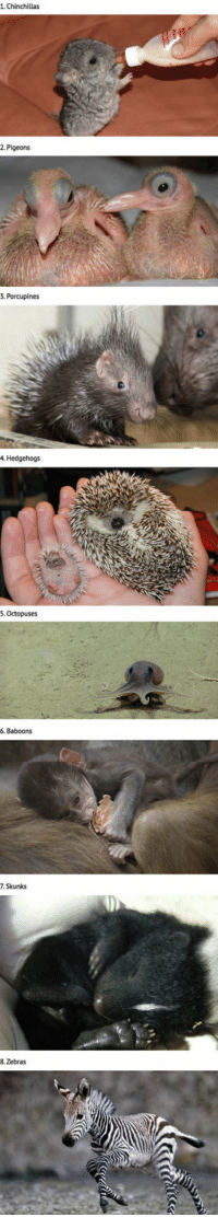 Animals, Never, and Babies: 1. Chinchillas  2. Pigeons  3. Porcupines  4. Hedgehogs  5. Octopuses  6. Baboons  7. Skunks  8. Zebras <p>20 Animals That You've Probably Never Seen As Babies.</p>