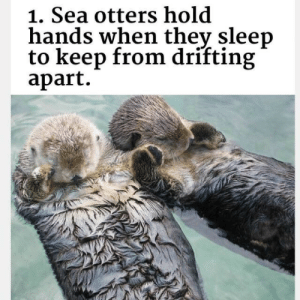drifting: 1. Sea otters hold  hands when thev sleep  to keep from drifting  apart.