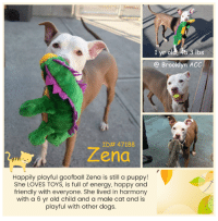 Goofball Zena <3 Kid and Cat-Friendly Puppy Girl Zena is hoping for a second chance!   MY VIDEOS: Goofball Zena  https://www.youtube.com/watch?v=7PuAcFRl_hY Zooming Zena  https://www.youtube.com/watch?v=bumQxoVH2oI  Zena    ID# 47188  Brooklyn Animal Care Center 1 yr old, 45.3 lbs White / Brown Spayed Female Medium Mixed Breed Cross Owner Surrender  Reason: owner moving to a place that doesn't allow pets Intake Date: 11-13-2018  SHELTER ASSESSMENT ~ EXPERIENCED HOME No young Children (under 5)  OWNER NOTES   Basic Information: Zena is a year and a half tan and white female dog that was surrendered to the center due to the owner moving to a place that doesn't allow pets. She was spayed prior coming to the center. The owner had her for one year. Zena has never been to the vet.   Previously lived with: One adult, one child and one cat  How is this dog around strangers? She is friendly and outgoing.  How is this dog around children? She lived with a six year old child. She was playful and respectful around her.  How is this dog around other dogs? She didn't live with dogs however as per owner, she is playful around them when she sees them in the street.  How is this dog around cats? She lived with a male cat. She was playful around them.  Resource guarding: Zena is not bothered if her food is touched while eating or if a treat or object is taken away from her.  Bite history: No bite history with a person or animal.  Housetrained: Yes  Energy level/descriptors: Very high  Other Notes: She is not bothered if she is held or restrained. Zena is afraid of being bathed at first however she allows it after. She enjoys being brushed. Zena barks when someone unfamiliar approaches the house.  Has this dog ever had any medical issues? Yes  Medical Notes As per owner, Zena has skin allergies. She said that Zena is allergic to chicken based food and that she also has seasonal allergies.   For a New Family to Know She was described as friendly, affectionate and playful. At home, she tends to follow people around or stay on her favorite spot. She likes to play with balls, stuffed and squeaky toys. She was kept indoors only. She used to sleep on her own bed. She eats dry and wet food and was fed twice a day. She is house-trained and goes potty on grass or dirt. As per owner, she has a schedule to go potty, morning and evening. She is well-behaved when she is left alone in the house. She has never been crated. She knows the sit and come commands. She is used to go on slow walks on leash or off-leash dog parks for exercise. She pulls hard when she is on the leash.   BEHAVIOR NOTES   Upon Intake  Behavior upon intake: Zena entered the room with a loose body and wiggly tail. She allowed to be scanned, collared and weighted. She kept walking around the room and was interested in the treats that were provided. Zena scanned positive for a microchip.  Means of surrender (length of time in previous home): Owner surrender  Previously lived with: 1 adult, 1 child, 1 cat  Behavior toward strangers: Friendly, outgoing  Behavior toward children: Playful, respectful  Behavior toward dogs: Playful  Behavior toward cats: Playful  Resource guarding: None reported  Bite history: None reported  Housetrained: Yes  Energy level/descriptors: Friendly, affectionate and playful with a high energy level   SAFER SCORES Date of assessment: 14-Nov-2018  Look: 1. Dog's eyes are averted, with tail wagging and ears back. Allows head to be held loosely in Assessor's cupped hands.  Sensitivity: 1. Dog leans into the Assessor, eyes soft or squinty, soft and loose body, open mouth.  Tag: 1. Dog assumes play position and joins the game. Or dog indicates play with huffing, soft 'popping' of the body, etc. Dog might jump on Assessor once play begins.  Paw squeeze 1: 2. Dog quickly pulls back.  Paw squeeze 2: 3. Dog head flips while pulling back paw.  Flank squeeze 1: 3. Dog head flips while moving hip away.  Toy: 2. Dog takes toy away, keeps a firm hold. His/her body is between you and the toy, and is loose and wiggly. No growling or stiffness.  Summary:  Zena was soft and social towards handlers though appeared uncomfortable with select forms of handlers.   Summary (1):  During Zena's previous stay at the Care Centers, Zena engaged in gentle play with both male and female dogs. Her owner reported the same behaviors at home.  11/14: When off leash at the Care Centers, Zena anxiously enters the yard. She quickly moves to pass the greeter, when the gate is opened and attempts to exit the pens. After several minutes she briefly greets the male helper dog. She displays conflicting behaviors, plays bow with lip curls, and increases her distance from him.   11/16: Zena paced the yard most of her session. When a fearful male approached her she tenses her body before fleeing.   Date of intake: 13-Nov-2018 Summary: Loose bodied, allowed all handling  Date of initial: 13-Nov-2018 Summary: Active, wagging, allowed all handling  ENERGY LEVEL:  Zena is a young, enthusiastic, social dog who will need daily mental and physical activity to keep her engaged and exercised. We recommend long-lasting chews, food puzzles, and hide-and-seek games, in additional to physical exercise, to positively direct her energy and enthusiasm.  BEHAVIOR DETERMINATION:  EXPERIENCE (suitable for an adopter with some previous dog experience, especially with the behaviors outlined below)  Recommendations:  No young children (under 5)  Recommendations comments:  No young children (under 5): Due to Zena's observed sensitivity to some handling, we believe a home without young children would be most beneficial at this time.  Potential challenges:  Handling/touch sensitivity  Potential challenges comments:  Handling sensitivity: Zena has head flipped and moved away quickly when handled in certain areas (paws, flank area), showing discomfort with touch in certain areas. It is important to be cautious when touching her in other areas as we do not know where she may have other sensitivities. Positive reinforcement, reward based training should be used to pair touch with good things such as food rewards in order to teach Zena to be more comfortable with this.  MEDICAL EXAM NOTES   13-Nov-2018 DVM Intake Exam  Estimated age:1.5y Microchip noted on Intake?y Microchip Number (If Applicable):981020017383957  History : o surrender. o says allergic to chicken  Subjective: o says rash , but dize sized irritation on ventral neck noted, may be from leash  Observed Behavior -waggy, excited Evidence of Cruelty seen -n Evidence of Trauma seen -n  Objective   T = P =60 R =pant BCS 5/9  EENT: Eyes clear, ears clean, no nasal or ocular discharge noted Oral Exam:clean teeth PLN: No enlargements noted H/L: NSR, NMA, CRT < 2, Lungs clear, eupnic ABD: Non painful, no masses palpated U/G:female, spay tattoo seen MSI: Ambulatory x 4, skin free of parasites, no masses noted, healthy hair coat CNS: Mentation appropriate - no signs of neurologic abnormalities Rectal:  Assessment: healthy  Prognosis:good Plan:no treatment--monitor skin  *** TO FOSTER OR ADOPT ***  If you would like to adopt a NYC ACC dog, and can get to the shelter in person to complete the adoption process, you can contact the shelter directly. We have provided the Brooklyn, Staten Island and Manhattan information below. Adoption hours at these facilities is Noon – 8:00 p.m. (6:30 on weekends)  If you CANNOT get to the shelter in person and you want to FOSTER OR ADOPT a NYC ACC Dog, you can PRIVATE MESSAGE our Must Love Dogs page for assistance. PLEASE NOTE: You MUST live in NY, NJ, PA, CT, RI, DE, MD, MA, NH, VT, ME or Northern VA. You will need to fill out applications with a New Hope Rescue Partner to foster or adopt a NYC ACC dog. Transport is available if you live within the prescribed range of states.  Shelter contact information: Phone number (212) 788-4000 Email adopt@nycacc.org  Shelter Addresses: Brooklyn Shelter: 2336 Linden Boulevard Brooklyn, NY 11208 Manhattan Shelter: 326 East 110 St. New York, NY 10029 Staten Island Shelter: 3139 Veterans Road West Staten Island, NY 10309: 1 yr old, 45.3 lbs  @ Brooklyn ACC  ID# 47188  Zena  Happily playful goofball Zena is still a puppy!  She LOVES TOYS, is full of energy, happy and  friendly with everyone. She lived in harmony  with a 6 yr old child and a male cat and is  playful with other dogs. Goofball Zena <3 Kid and Cat-Friendly Puppy Girl Zena is hoping for a second chance!   MY VIDEOS: Goofball Zena  https://www.youtube.com/watch?v=7PuAcFRl_hY Zooming Zena  https://www.youtube.com/watch?v=bumQxoVH2oI  Zena    ID# 47188  Brooklyn Animal Care Center 1 yr old, 45.3 lbs White / Brown Spayed Female Medium Mixed Breed Cross Owner Surrender  Reason: owner moving to a place that doesn't allow pets Intake Date: 11-13-2018  SHELTER ASSESSMENT ~ EXPERIENCED HOME No young Children (under 5)  OWNER NOTES   Basic Information: Zena is a year and a half tan and white female dog that was surrendered to the center due to the owner moving to a place that doesn't allow pets. She was spayed prior coming to the center. The owner had her for one year. Zena has never been to the vet.   Previously lived with: One adult, one child and one cat  How is this dog around strangers? She is friendly and outgoing.  How is this dog around children? She lived with a six year old child. She was playful and respectful around her.  How is this dog around other dogs? She didn't live with dogs however as per owner, she is playful around them when she sees them in the street.  How is this dog around cats? She lived with a male cat. She was playful around them.  Resource guarding: Zena is not bothered if her food is touched while eating or if a treat or object is taken away from her.  Bite history: No bite history with a person or animal.  Housetrained: Yes  Energy level/descriptors: Very high  Other Notes: She is not bothered if she is held or restrained. Zena is afraid of being bathed at first however she allows it after. She enjoys being brushed. Zena barks when someone unfamiliar approaches the house.  Has this dog ever had any medical issues? Yes  Medical Notes As per owner, Zena has skin allergies. She said that Zena is allergic to chicken based food and that she also has seasonal allergies.   For a New Family to Know She was described as friendly, affectionate and playful. At home, she tends to follow people around or stay on her favorite spot. She likes to play with balls, stuffed and squeaky toys. She was kept indoors only. She used to sleep on her own bed. She eats dry and wet food and was fed twice a day. She is house-trained and goes potty on grass or dirt. As per owner, she has a schedule to go potty, morning and evening. She is well-behaved when she is left alone in the house. She has never been crated. She knows the sit and come commands. She is used to go on slow walks on leash or off-leash dog parks for exercise. She pulls hard when she is on the leash.   BEHAVIOR NOTES   Upon Intake  Behavior upon intake: Zena entered the room with a loose body and wiggly tail. She allowed to be scanned, collared and weighted. She kept walking around the room and was interested in the treats that were provided. Zena scanned positive for a microchip.  Means of surrender (length of time in previous home): Owner surrender  Previously lived with: 1 adult, 1 child, 1 cat  Behavior toward strangers: Friendly, outgoing  Behavior toward children: Playful, respectful  Behavior toward dogs: Playful  Behavior toward cats: Playful  Resource guarding: None reported  Bite history: None reported  Housetrained: Yes  Energy level/descriptors: Friendly, affectionate and playful with a high energy level   SAFER SCORES Date of assessment: 14-Nov-2018  Look: 1. Dog's eyes are averted, with tail wagging and ears back. Allows head to be held loosely in Assessor's cupped hands.  Sensitivity: 1. Dog leans into the Assessor, eyes soft or squinty, soft and loose body, open mouth.  Tag: 1. Dog assumes play position and joins the game. Or dog indicates play with huffing, soft 'popping' of the body, etc. Dog might jump on Assessor once play begins.  Paw squeeze 1: 2. Dog quickly pulls back.  Paw squeeze 2: 3. Dog head flips while pulling back paw.  Flank squeeze 1: 3. Dog head flips while moving hip away.  Toy: 2. Dog takes toy away, keeps a firm hold. His/her body is between you and the toy, and is loose and wiggly. No growling or stiffness.  Summary:  Zena was soft and social towards handlers though appeared uncomfortable with select forms of handlers.   Summary (1):  During Zena's previous stay at the Care Centers, Zena engaged in gentle play with both male and female dogs. Her owner reported the same behaviors at home.  11/14: When off leash at the Care Centers, Zena anxiously enters the yard. She quickly moves to pass the greeter, when the gate is opened and attempts to exit the pens. After several minutes she briefly greets the male helper dog. She displays conflicting behaviors, plays bow with lip curls, and increases her distance from him.   11/16: Zena paced the yard most of her session. When a fearful male approached her she tenses her body before fleeing.   Date of intake: 13-Nov-2018 Summary: Loose bodied, allowed all handling  Date of initial: 13-Nov-2018 Summary: Active, wagging, allowed all handling  ENERGY LEVEL:  Zena is a young, enthusiastic, social dog who will need daily mental and physical activity to keep her engaged and exercised. We recommend long-lasting chews, food puzzles, and hide-and-seek games, in additional to physical exercise, to positively direct her energy and enthusiasm.  BEHAVIOR DETERMINATION:  EXPERIENCE (suitable for an adopter with some previous dog experience, especially with the behaviors outlined below)  Recommendations:  No young children (under 5)  Recommendations comments:  No young children (under 5): Due to Zena's observed sensitivity to some handling, we believe a home without young children would be most beneficial at this time.  Potential challenges:  Handling/touch sensitivity  Potential challenges comments:  Handling sensitivity: Zena has head flipped and moved away quickly when handled in certain areas (paws, flank area), showing discomfort with touch in certain areas. It is important to be cautious when touching her in other areas as we do not know where she may have other sensitivities. Positive reinforcement, reward based training should be used to pair touch with good things such as food rewards in order to teach Zena to be more comfortable with this.  MEDICAL EXAM NOTES   13-Nov-2018 DVM Intake Exam  Estimated age:1.5y Microchip noted on Intake?y Microchip Number (If Applicable):981020017383957  History : o surrender. o says allergic to chicken  Subjective: o says rash , but dize sized irritation on ventral neck noted, may be from leash  Observed Behavior -waggy, excited Evidence of Cruelty seen -n Evidence of Trauma seen -n  Objective   T = P =60 R =pant BCS 5/9  EENT: Eyes clear, ears clean, no nasal or ocular discharge noted Oral Exam:clean teeth PLN: No enlargements noted H/L: NSR, NMA, CRT < 2, Lungs clear, eupnic ABD: Non painful, no masses palpated U/G:female, spay tattoo seen MSI: Ambulatory x 4, skin free of parasites, no masses noted, healthy hair coat CNS: Mentation appropriate - no signs of neurologic abnormalities Rectal:  Assessment: healthy  Prognosis:good Plan:no treatment--monitor skin  *** TO FOSTER OR ADOPT ***  If you would like to adopt a NYC ACC dog, and can get to the shelter in person to complete the adoption process, you can contact the shelter directly. We have provided the Brooklyn, Staten Island and Manhattan information below. Adoption hours at these facilities is Noon – 8:00 p.m. (6:30 on weekends)  If you CANNOT get to the shelter in person and you want to FOSTER OR ADOPT a NYC ACC Dog, you can PRIVATE MESSAGE our Must Love Dogs page for assistance. PLEASE NOTE: You MUST live in NY, NJ, PA, CT, RI, DE, MD, MA, NH, VT, ME or Northern VA. You will need to fill out applications with a New Hope Rescue Partner to foster or adopt a NYC ACC dog. Transport is available if you live within the prescribed range of states.  Shelter contact information: Phone number (212) 788-4000 Email adopt@nycacc.org  Shelter Addresses: Brooklyn Shelter: 2336 Linden Boulevard Brooklyn, NY 11208 Manhattan Shelter: 326 East 110 St. New York, NY 10029 Staten Island Shelter: 3139 Veterans Road West Staten Island, NY 10309