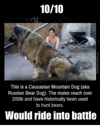 10/10  This is a Caucasian Mountain Dog (aka  Russian Bear Dog). The males reach over  200lb and have historically been used  to hunt bears.  Would ride into battle With a dog this big, there's only one thing left to do... www.memecenter.com/fun/3077703/huge-dog  Go to http://plus.google.com/+memecenter for more funny memes and pics!