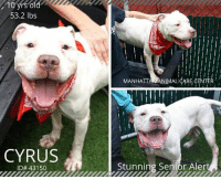 """Click, Dogs, and Energy: 10  53.2 lbs  MANHATTAN ANIMAL ARE  CYRUS  ID# 43150  Stunning Senior Aler TO BE KILLED 10/17/18  **STUNNING SENIOR ALERT!!** ~ Senior boy Cyrus has a smile that will light up the room!   This gorgeous boy will melt your heart with his sparkling eyes and that sweet smile. Cyrus is craving a place of his own where he can snuggle and relax..Will it be you? This handsome boy is waiting for you at the Manhattan Animal Care Center he will dazzle you with his shining personality.  A volunteer writes: Cyrus means """"young boy"""" in ancient Greek and our Cyrus, at ten years of age wants to prove that he is still a pup. Cyrus is an energetic walker, likely house trained and curious of his new neighborhood, his mind set to sniff all the nooks and crannies as well as leaving his scents on the way. Experience has told him that it does not pay to be a mouse and he strolls proudly and surely.. Cyrus is a ladies admirer in our playgroups while other males are seen as competitors .He likely should stay away from them. Cyrus loves to be in company (he will never say no to a walk!), harbors a big smile, wags his tail happily, hops on the bench for caresses and sits for treats. He is quite a pleasant character, rather obedient and eager to please. Cyrus dreams to have a home to call his own but mostly of a new owner to love. He is very much in need of love and TLC which I think will soften his rugged edges and uncover his puppy's soft sides. Come and meet Cyrus at the Manhattan Care Center!  CYRUS ID# 43150 Manhattan ACC 10 year old, 53.2 lbs. White Male Medium Mixed Breed Cross Found Stray Intake Date: 10-02-2018  SHELTER ASSESSMENT ~ EXPERIENCED HOME  BEHAVIOR NOTES  Means of surrender (length of time in previous home): Stray  SAFE SCORES: Date of assessment: 3-Oct-2018  Look: 1. Dog's eyes are averted, ears are back, tail is down, relaxed body posture. Dog allows head to be held loosely in Assessor's cupped hands.  Sensitivity: 1. Dog leans into the Assessor, e"""