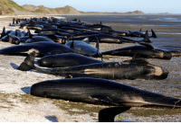 Memes, Navigation, and New Zealand: 10 FEB: Volunteers in New Zealand are racing to rescue survivors after more than 400 pilot whales beached themselves. About 300 stranded whales died overnight at Farewell Spit, on the South Island, in one of the worst such cases the country has seen. Hundreds of locals and conservation officers have been trying to rescue the survivors since early Friday and formed a human chain to refloat the whales. Scientists do not know what exactly causes whales to beach themselves. But it sometimes happens because the whales are old and sick, injured, or make navigational errors particularly along gentle sloping beaches. Sometimes when one whale is beached, it will send out a distress signal attracting other members of its pod, who then also get stranded by a receding tide. PHOTO: REUTERS-Anthony Phelps BBCSnapshot photojournalism nature whales NZ newzealand🇳🇿