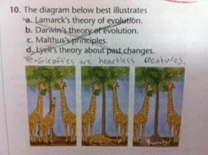 Giraffes | Funny Exam Answers | Know Your Meme: 10. The diagram below best illustrates  a. Lamarck's theory of evolution.  b. Darwin's theory of evolution.  c. Malthus's principles.  d. Lyell's theory about past changes.  e.Gicaffes are heartless creatwres Giraffes | Funny Exam Answers | Know Your Meme