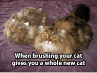 When brushing your cat  gives you a whole new cat