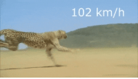 The fastest Cheetah ever recorded was named Sarah. In 2012, then-11-year-old Sarah was filmed running on a U.S.A. Track and Field-certified course at an unmatched pace of 61 miles per hour. Sarah's 5.95 second 100-meter dash holds the known planet-wide record.: 102 km/h The fastest Cheetah ever recorded was named Sarah. In 2012, then-11-year-old Sarah was filmed running on a U.S.A. Track and Field-certified course at an unmatched pace of 61 miles per hour. Sarah's 5.95 second 100-meter dash holds the known planet-wide record.