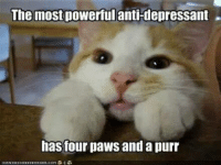 cat meme: The most powerful  antidepressant  has four paws and a purr  ICHNHASCHEEZEURSER COM