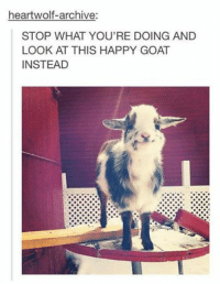 heartwolf-archive:  STOP WHAT YOU'RE DOING AND  LOOK AT THIS HAPPY GOAT  INSTEAD