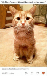 "cat meme: ""My friend's munchkin cat likes to sit on his paws.""  Source: tastefully offensive  68,751 notes"
