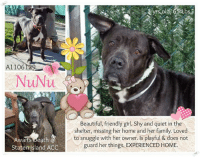 Memes, 🤖, and Deaths: 1106129  NuNu  Awaits Death  Staten Island ACC  Beautiful, friendly girl. Shy and quiet in the  shelter, missing her home and her family. Loved  to snuggle with her owner. Is playful & does not  guard her things. EXPERIENCED HOME. Beautiful NuNu was living with one family from puppyhood on and is desperately missing her home and family. NuNu`s owner stated, she loved to follow him around and to snuggle with him. Now that she suddenly is on her own, she feels understandably lost. THE POOR GIRL!  A little quiet and shy in the shelter she still does her best to be the friendly and sweet girl she is and opens up to the volunteers. NuNu is house- and crate trained, does not guard her things and is well behaved when left home alone. The only thing she needs is to be part of a family again. Please share NuNu for her chance to be found by her new people soon.  VIDEO: https://www.youtube.com/watch?v=Xza2fR_wg7k  NUNU A1106129 STATEN ISLAND ACC  Estimated to be 3 yrs old, 65 Lbs AMERICAN STAFF MIX, BR BRINDLE / WHITE, FEMALE OWNER SUR, FROM NY 10301, PERS PROB INTAKE 03/13/2017, DUE OUT 03/13/2017 Medical Behavior Evaluation BLUE  **SAFER: EXPERIENCED HOME**  PROFILE:  Basic Information:  Nunu is a 3 year old female American Staffordshire that has no past or current medical issues that the owner is aware of. Owner has had Nunu in the home since she was 3 weeks old but had to surrender due to personal problems in the home.  Socialization:  According to the owner, around strangers Nunu is very friendly and wiggly or will bark depending on the person. She has been around children ages newborn, 6 and 7 years old and was always relaxed and respectful around them. Owner did not have any other pets in the home so behavior is unknown.  Behavior:  When there are fireworks or thunderstorms outside, Nunu becomes nervous and tries to hide. She is not bothered by having her food, treats or toys taken away, being pushed off furniture, being held/restrained, being dist