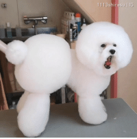 9gag, Memes, and Mad: 1113shirasu IG this dog groomer has some mad scissor skill. By @1113shirasu - fluffy bubble bichon 9gag