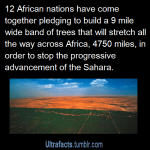"""Africa, Facts, and Food: 12 African nations have come  together pledging to build a 9 mile  wide band of trees that will stretch all  the way across Africa, 4750 miles, in  order to stop the progressive  advancement of the Sahara.  Ultrafacts.tumblr.com fuck-sayer:  thatlupa:  jenniferrpovey:  jumpingjacktrash:  becausegoodheroesdeservekidneys:  ultrafacts:  Source For more facts follow Ultrafacts  YOOOOOOOOOOOOOOO Senegal, Mauritania, Mali, Burkina Faso, Niger, Nigeria, Chad, Sudan, Eritrea, Ethiopia, and Djibouti. Those are the countries. It will be drought-resistant species, mostly acacias. And this is a brilliant idea you have no idea oh my Christ This will create so many jobs and regenerate so many communities and aaaaaahhhhhhh  more info here: http://en.wikipedia.org/wiki/Great_Green_Wall it's already happening, and already having positive effects. this is wonderful, why have i not heard of this before? i'm so happy!  Oh yes, acacia trees. They fix nitrogen and improve soil quality. And, to make things fun, the species they're using practices """"reverse leaf phenology."""" The trees go dormant in the rainy season and then grow their leaves again in the dry season. This means you can plant cropsunder the trees, in that nitrogen-rich soil, and the trees don't compete for light because they don't have any leaves on. And then in the dry season, you harvest the leaves and feed them to your cows. Crops grown under acacia trees have better yield than those grown without them. Considerably better. So, this isn't just about stopping the advancement of the Sahara - it's also about improving food security for the entire sub-Saharan belt and possiblyreclaiming some of the desert as productive land. Of course, before the """"green revolution,"""" the farmers knew to plant acacia trees - it's a traditional practice that they were convinced to abandon in favor of """"more reliable"""" artificial fertilizers (that caused soil degradation, soil erosion, etc). This is why you listen to the peop"""