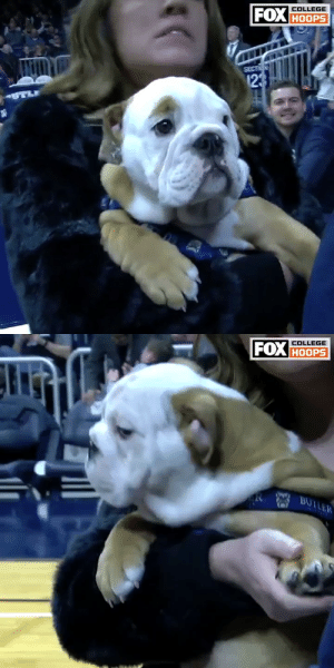 13/10 love @ButlerMBB's newest mascot 😍  Blue IV, who will replace the retiring @ButlerBlue3, was introduced on Friday night 🐶 https://t.co/oFCzwgRpFr: 13/10 love @ButlerMBB's newest mascot 😍  Blue IV, who will replace the retiring @ButlerBlue3, was introduced on Friday night 🐶 https://t.co/oFCzwgRpFr