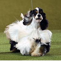 "Memes, Pup, and 🤖: 13 MAR: An American Cocker Spaniel named ""Afterglow Miami Ink"" has been crowned Best In Show at this year's Crufts. The two-year-old pup, from Blackpool, won Saturday's Gundog group and was handled by owner Jason Lynn. Mr Lynn praised the breed - with its distinctive long-flowing and tricolour coat and high-set tail - for its merry temperament. The winning owner said: ""He's pretty special and honestly I'm speechless. I'm absolutely shocked and thrilled."" More than 22,000 dogs have taken part in the four-day 2017 competition at the Birmingham NEC arena, with the most popular entry among Labrador Retrievers. Around 160,000 dog owners and lovers are estimated to have attended the show - the world's largest dog competition - with entries from 56 countries, culminating in Sunday's Best In Show final. Now in its 126th year, the competition is host to hundreds of breeds and crossbreeds who are ranked by their agility, obedience and heelwork to music ability, among other competitions. PHOTO: JUSTIN TALLIS-AFP BBCSnapshot photography dogs dogshow Crufts American CockerSpaniel Spaniel BestinShow"