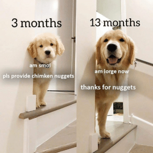 smol: 13 months  3 months  am smol  pls provide chimken nuggets  am lorge now  thanks for nuggets