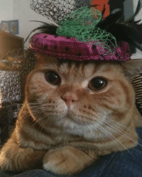 Tardar Sauce, you would look fabulous in a hat! // Paxilicious - The Cat In Hat: 紆 Tardar Sauce, you would look fabulous in a hat! // Paxilicious - The Cat In Hat