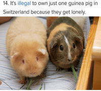Memes, Guinea Pig, and Switzerland: 14. It's illegal to own just one guinea pig in  Switzerland because they get lonely https://t.co/68iWKPFMWk
