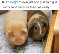 """Friends, Guinea Pig, and Switzerland: 14. It's illegal to own just one guinea pig in  Switzerland because they get lonely. <p>These furry rodents need friends too via /r/wholesomememes <a href=""""https://ift.tt/2IgBskw"""">https://ift.tt/2IgBskw</a></p>"""