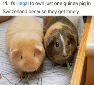 Cute, Funny, and Memes: 14. It's illegal to own just one guinea pig in  Switzerland because they get lonely. Every week we bring you all those heartwarming animal memes that are sure worth your time!#wholesome # wholesome memes # funny memes # cute memes # feel good # faith in humanity #Animal memes