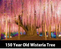 Memes, Wow, and Tree: 150 Year Old Wisteria Tree Wow this is amazing  :O