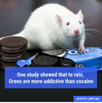 """Memes, Cocaine, and 🤖: 17 FEB  One study showed that to rats  Oreos are more addictive than cocaine  @FACTS I guff com So if a rat says """"give me the white stuff,"""" know that they're talking about those sweet creamy Oreo middles!"""