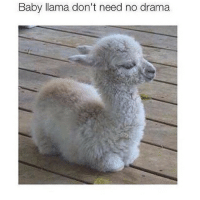 For sure: Baby llama don't need no drama For sure