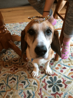 (1st post) Say hi to Luna, our basset-fox hound rescue. She's a mystery age, somewhere older than 12 and she was just diagnosed with vestibular disease (which comes & goes but makes her really tippy). She really snuggly and super sweet!: (1st post) Say hi to Luna, our basset-fox hound rescue. She's a mystery age, somewhere older than 12 and she was just diagnosed with vestibular disease (which comes & goes but makes her really tippy). She really snuggly and super sweet!